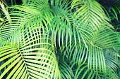nature and background concept - close-up of palm tree leaves
