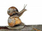 pic of hermaphrodite  - Garden snail  - JPG