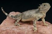 pic of lizards  - The Roundtail horned lizard is a specialized ant eating lizard found in Texas - JPG