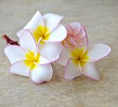 flowers frangipani on marble background