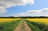 Country Lane Through Canola Field