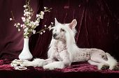 Hairless Chinese Crested Dog In Front Of Purple Background