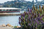 picture of lilac bush  - San Francisco - JPG