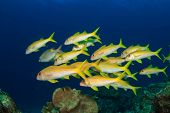 School of yellow fish: Goatfish and Snappers
