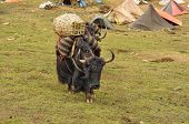 foto of yaks  - Yak in carrying goods in Himalayas mountains in Nepal
