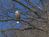 Bald Eagle resting on a branch in a tree