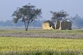 wheat fields in Bardia, Terai, Nepal