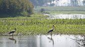 Painted Storks .badhaya lake, Nepal