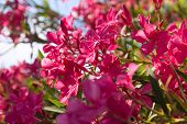 pic of oleander  - Oleander Flower sunny day in greece vacation - JPG