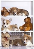 pic of corgi  - Pembroke Welsh Corgi puppy  - JPG