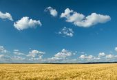 yellow wheat field and blue sky summer landscape