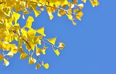 Yellow ginkgo leaves in autumn and a bright blue sky