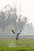 wild sarus crane landing on a swamp, Bardia, Nepal