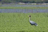 sarus crane standing in a swamp, Bardia, Nepal