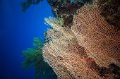 Giant fan (gorgonian) in the currenton Red Sea reef underwater