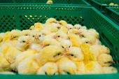 Newly Hatched Chicks