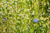 Blue Flowering Cornflower Between Overblown Wild Chamomile Plants.