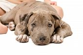 Pitbull puppy lying on a white background at the feet of a child