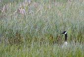 stock photo of canada goose  - a canada goose hiding inn long grass  - JPG
