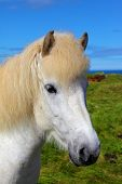Portrait of a white horse with brown ears. Iceland in July. Farmer sleek horse