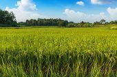 Landscape  Green Rice Fields