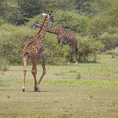 Giraffe On Safari Wild Drive, Kenya.