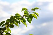 picture of apricot  - branch green unripe apricot leaves blue sky background - JPG