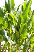 image of biogas  - Biogas corn field for the harvest of a biogas plant - JPG
