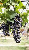 Full Trailer purple grapes