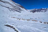 picture of alpaca  - Large herd of domestic alpacas on snow in high altitudes in peruvian Andes south America - JPG