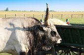Hungarian grey bull