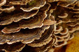foto of bracket-fungus  - Large group of brown Turkey Tail  - JPG