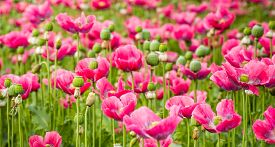 image of opiate  - Closeup of pink blooming Papaver somniferum plants in the different growth stages namelly from bud to seed pod. ** Note: Shallow depth of field - JPG
