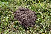 foto of mole  - New mole molehill on the grass in the yard - JPG