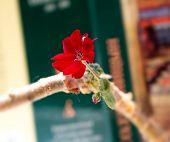 stock photo of geranium  - Red geranium flower amid books - JPG