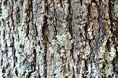 Oak Cortex Closeup, Texture