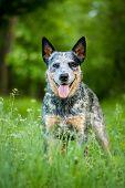 stock photo of heeler  - Summer beauty portrait of Australian cattle dog  - JPG