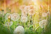 foto of dandelion  - Dandelion  - JPG