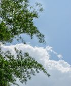 stock photo of bamboo leaves  - Bamboo leaves with white cloud and blue sky background - JPG