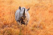 pic of rhino  - Black rhino in Nakuru Park in Kenya during the dry season - JPG