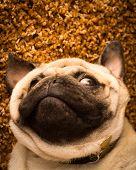 stock photo of pug  - A Pug dog laying on its back - JPG
