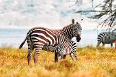 image of suck  - Zebra and its baby sucking milk in Kenya - JPG