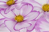 foto of cosmos flowers  - Studio Shot of Fuchsia and White Colored Cosmos Flowers Backgrounds. Macro. ** Note: Soft Focus at 100%, best at smaller sizes - JPG