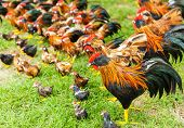 picture of turkey-cock  - Group of toy hen on the grass - JPG