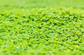 picture of clover  - Green clover background. Green clover freshness on nature ** Note: Shallow depth of field - JPG