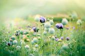 picture of poppy flower  - Meadow of purple poppy flowers and poppy pods - JPG