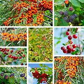 picture of wild-brier  - The berries of sea buckthorn - JPG