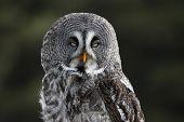 foto of owl eyes  - A Great Grey Owl  - JPG