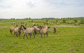 stock photo of herd horses  - Herd of Konik horses in the wilderness in spring - JPG