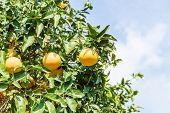 pic of orange-tree  - Orange Tree with the branch of ripe oranges - JPG